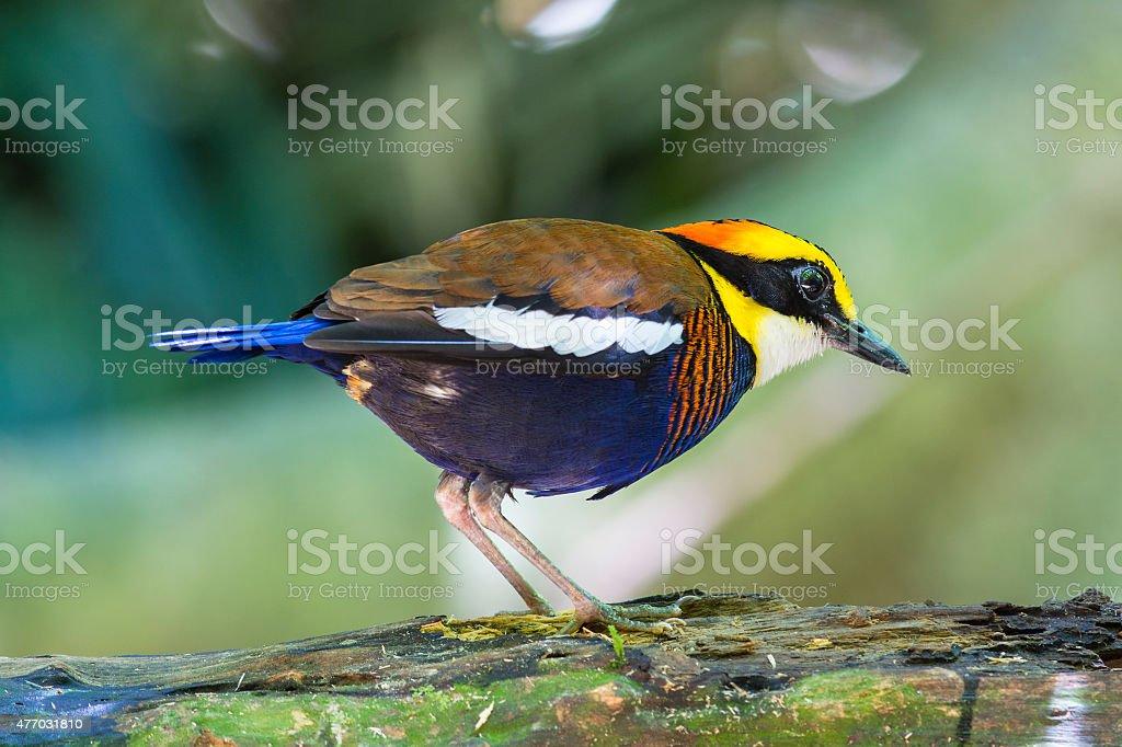Banded Pitta, Malayan Banded Pitta (Pitta Guajana) Bird of Thailand royalty-free stock photo