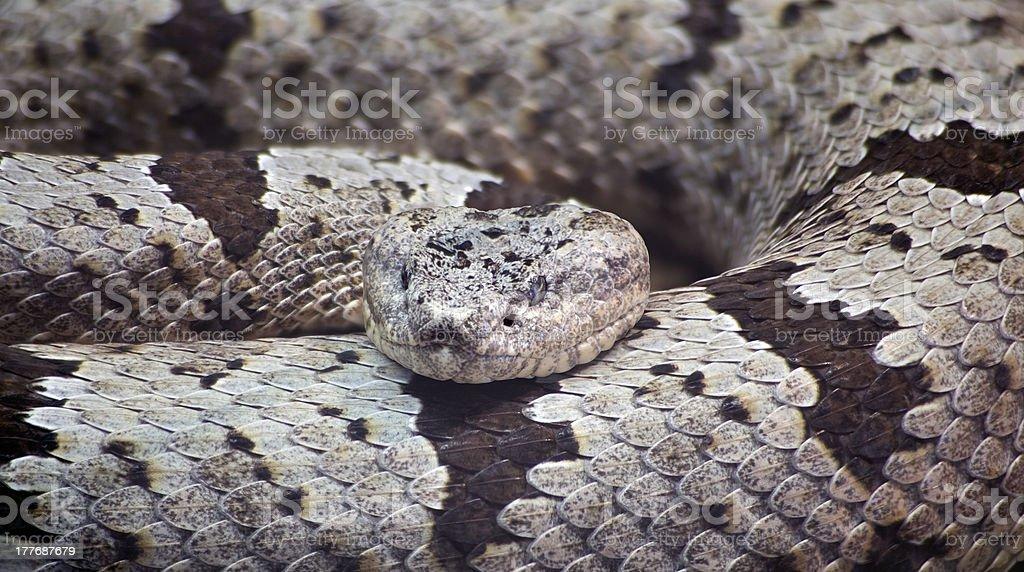 Banded Rock Rattlesnake stock photo