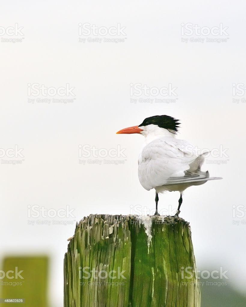 Banded Royal Tern stock photo