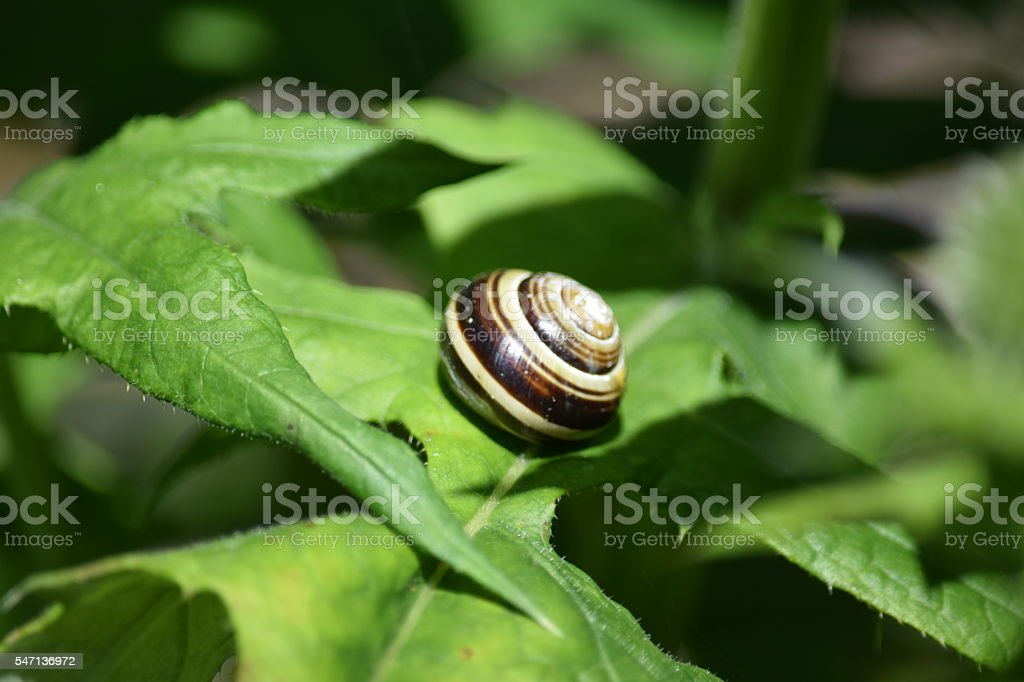 Banded snail on a leaf stock photo
