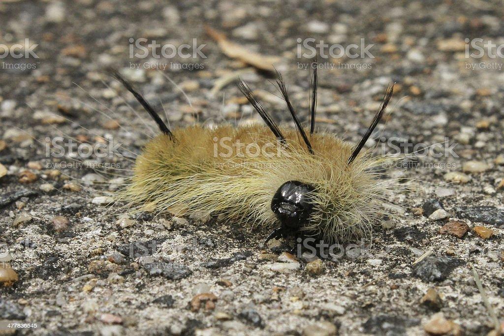 Banded Tussock Moth Caterpillar stock photo