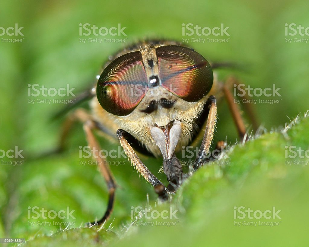 Band-eyed brown horsefly (Tabanas bromius) head-on stock photo