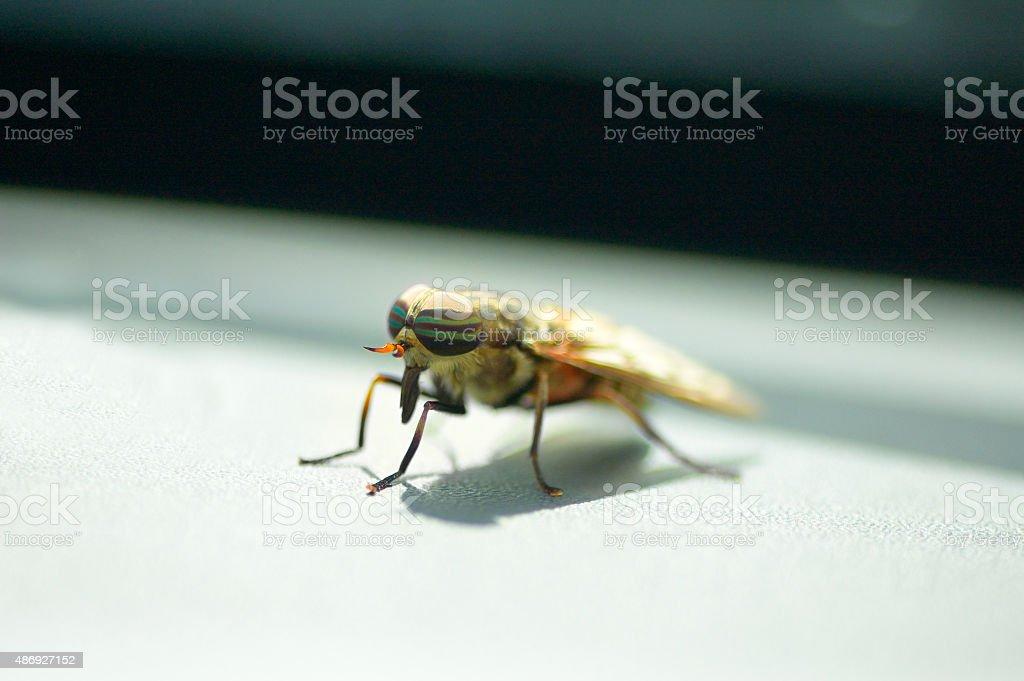Band-eyed Brown Horsefly stock photo