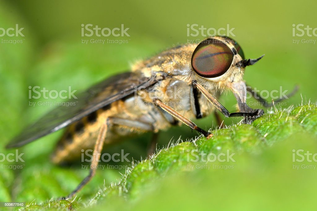Band-eyed brown horsefly (Tabanas bromius) stock photo