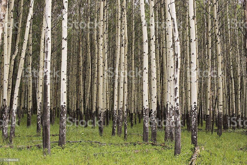 Banff Aspen Grove II royalty-free stock photo