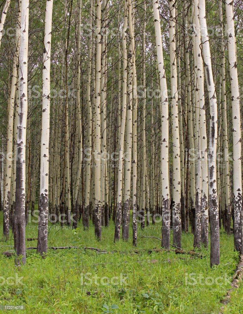 Banff Aspen Grove royalty-free stock photo