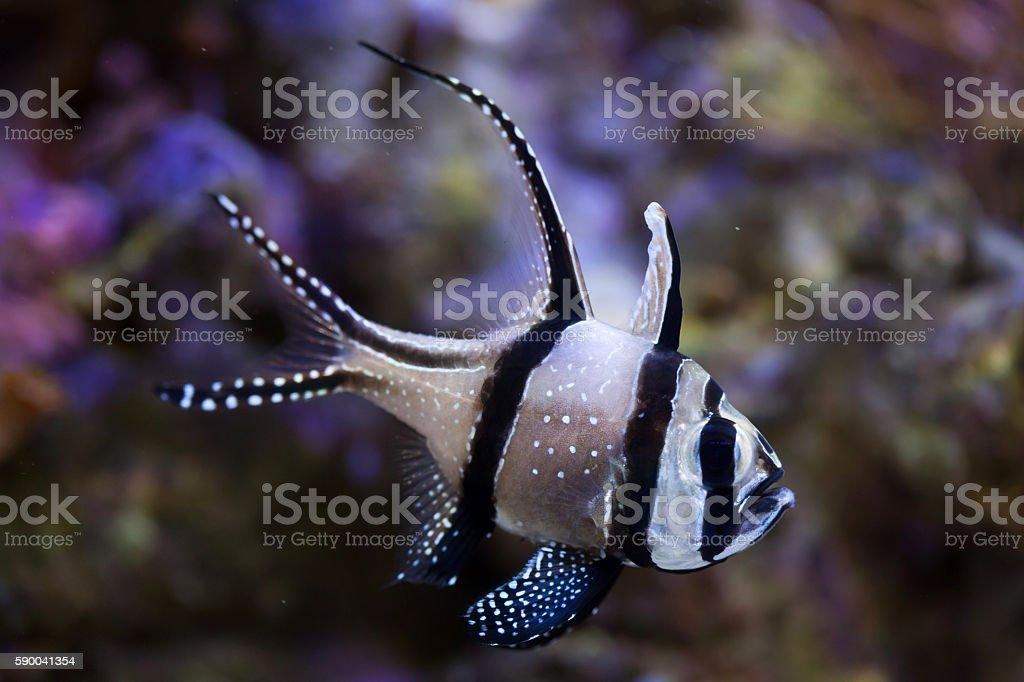 Banggai cardinalfish (Pterapogon kauderni). stock photo