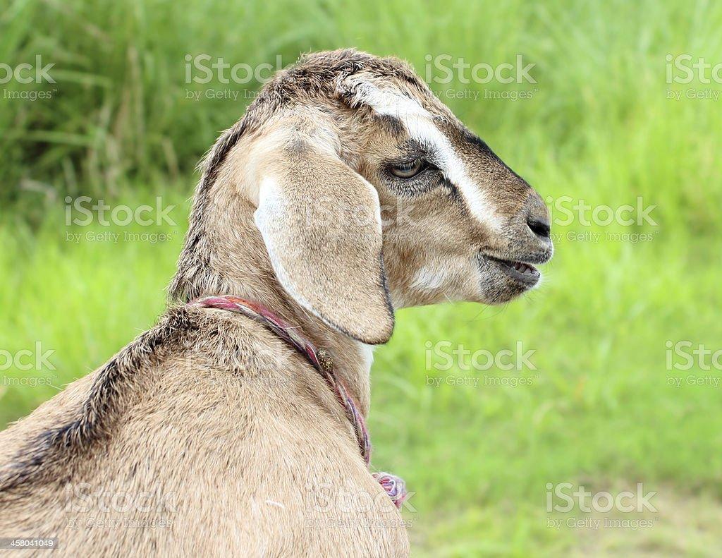 Chèvre du Bangladesh photo libre de droits