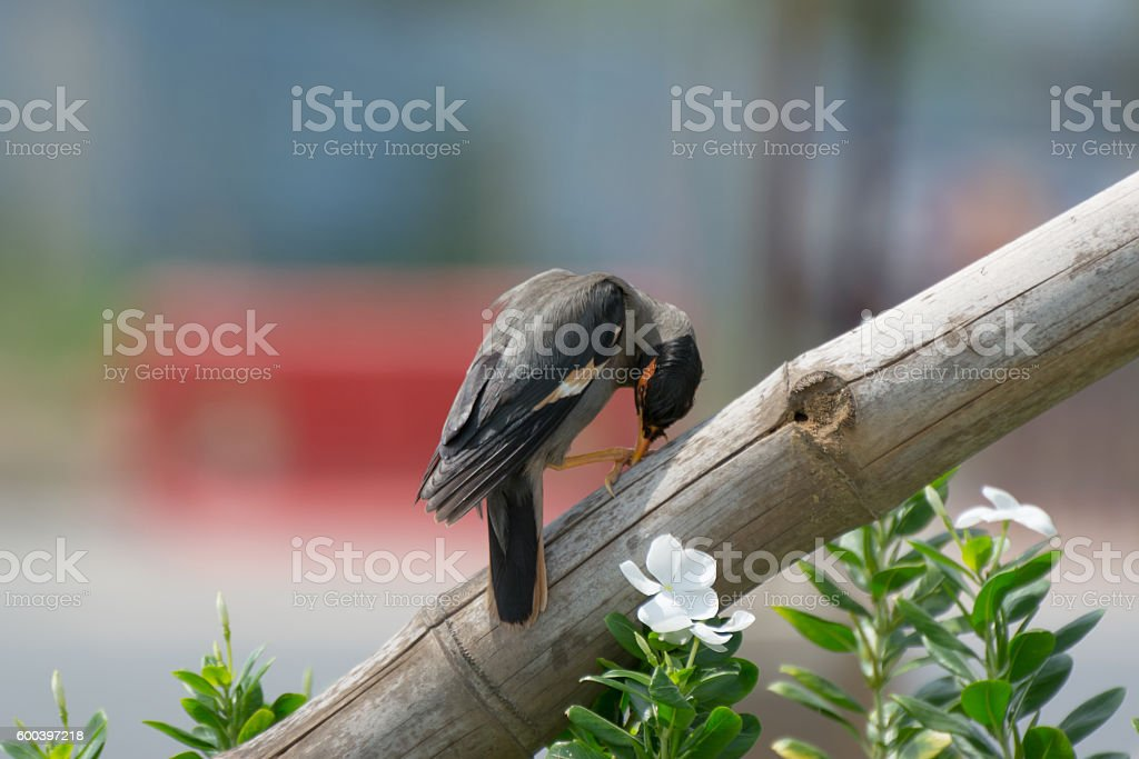 Bank Myna Bird eating its claw stock photo