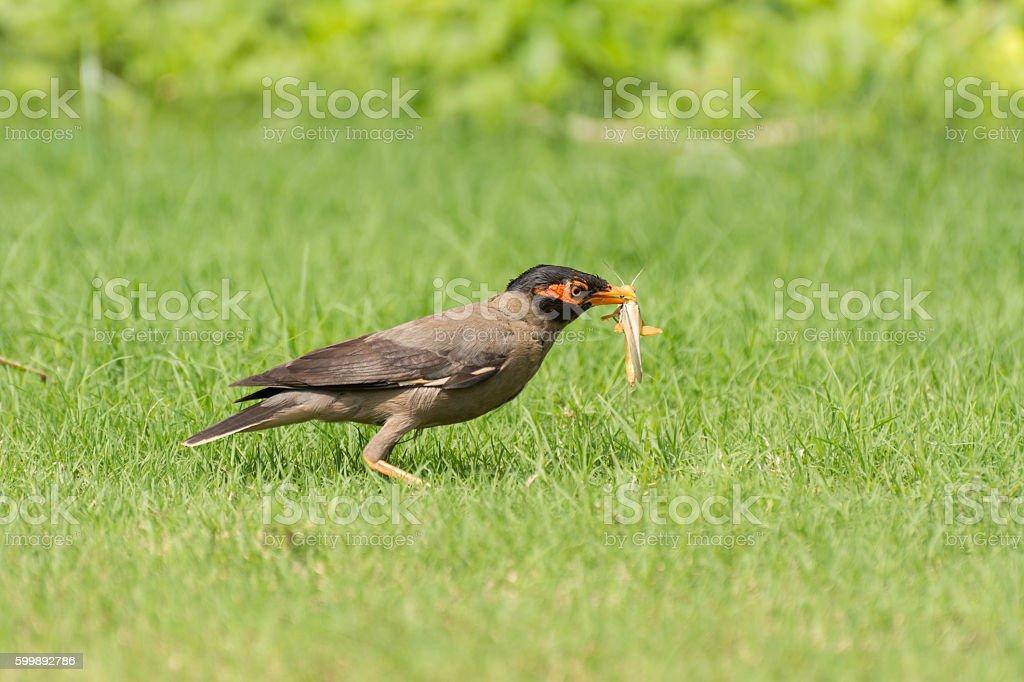 Bank myna bird eating locust stock photo