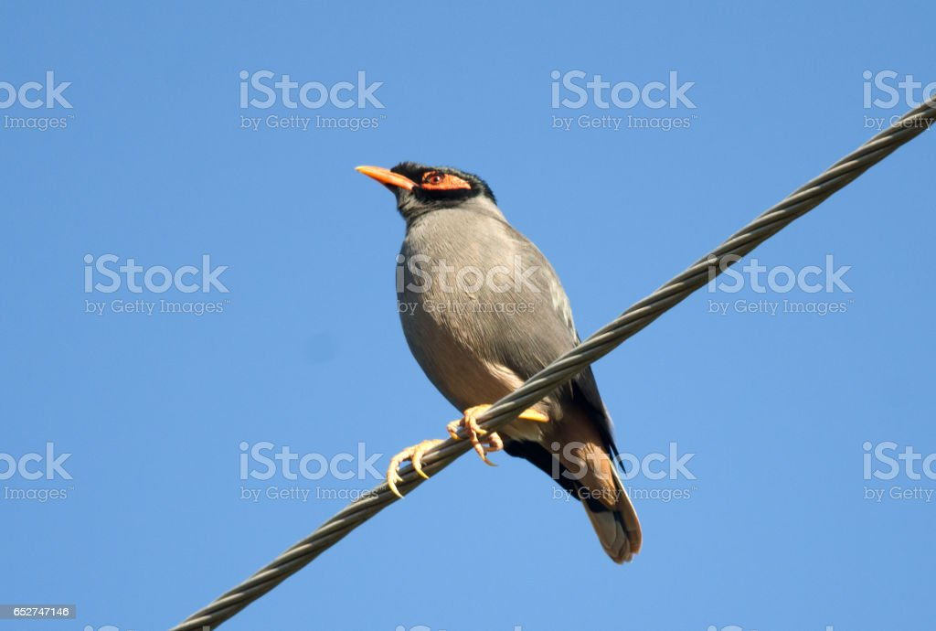 Bank Myna stock photo