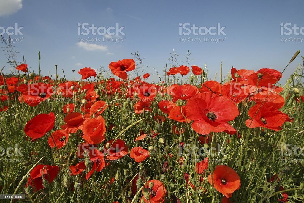 Bank of Poppies stock photo