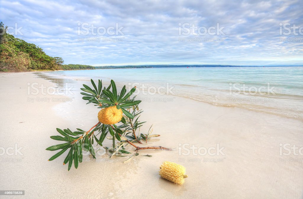Banksia Serrata on the beach stock photo