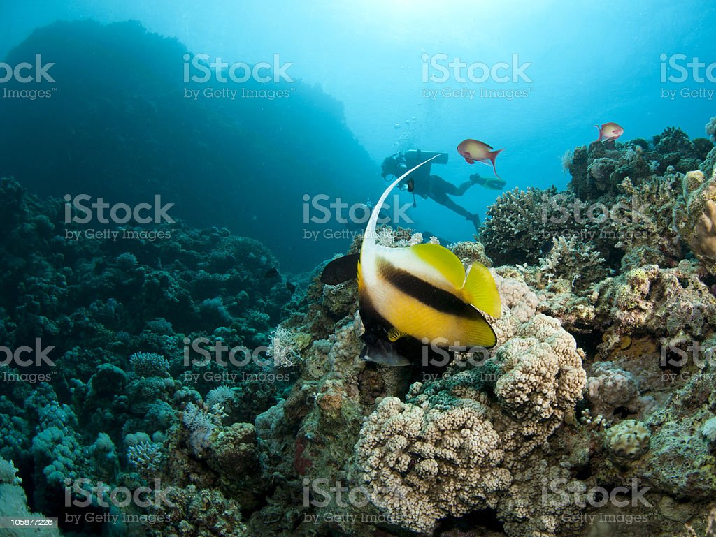 banner fish with scuba diver in background stock photo