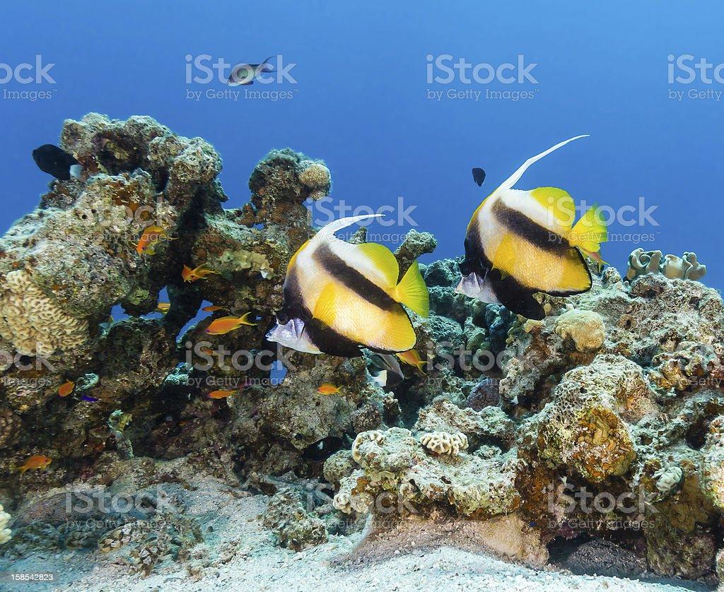 Bannerfish and Anthias swim around a coral reef royalty-free stock photo