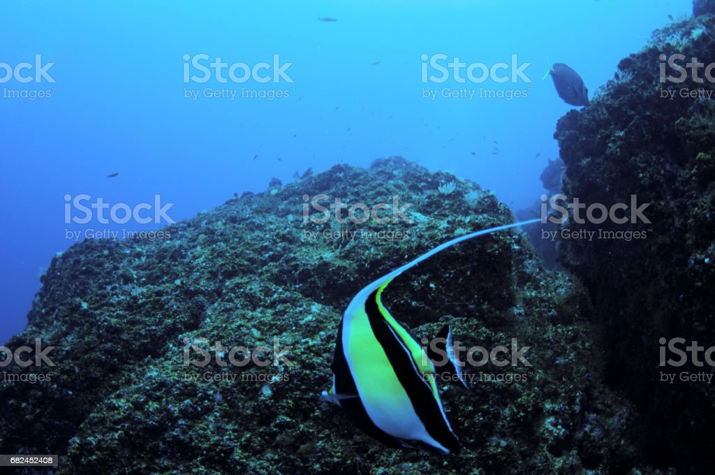 Bannerfish close in front of rocky area scuba under water stock photo