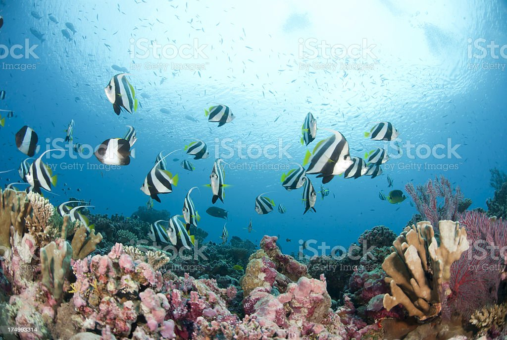 bannerfish over coral reef stock photo