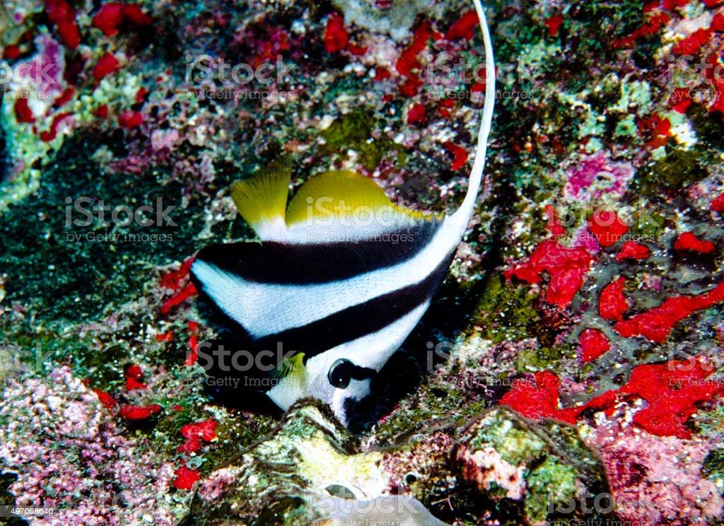 Bannerfish - Thailand royalty-free stock photo