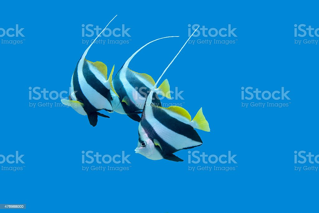 bannerfishes in tropical sea, underwater stock photo