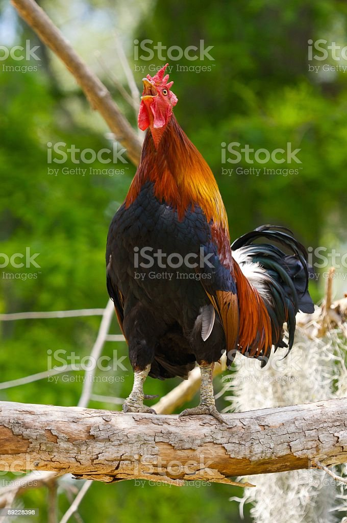 Bantam Rooster Crowing On A Tree Branch stock photo