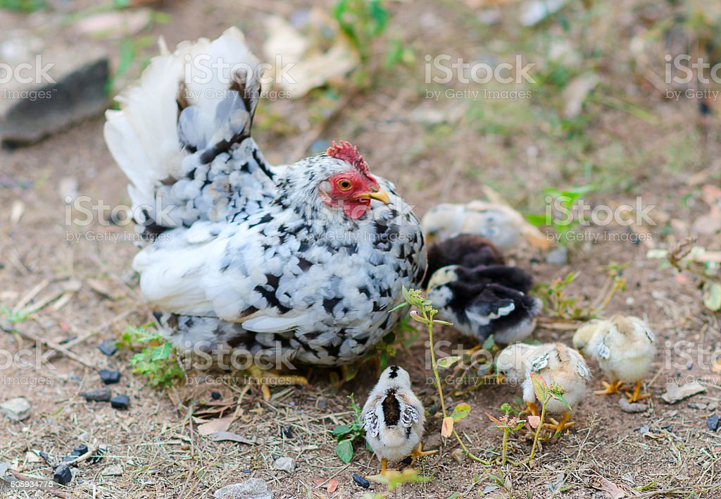 Bantams are popular in Thailand animal feed. stock photo