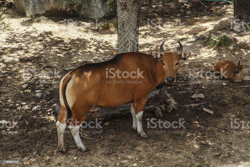 Banteng royalty-free stock photo