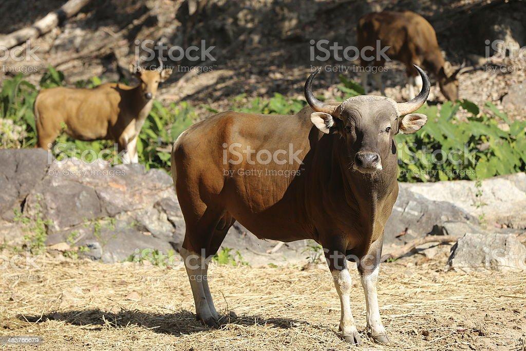 Banteng-Rind (Bos javanicus) Lizenzfreies stock-foto