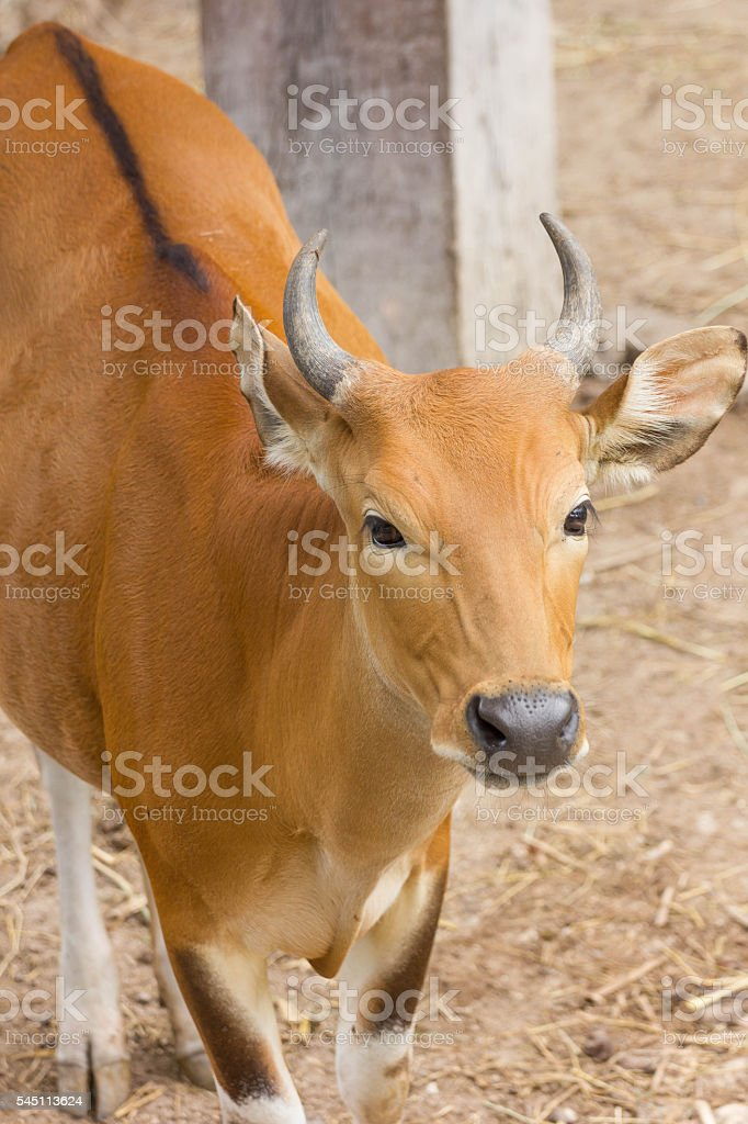 Banteng stock photo