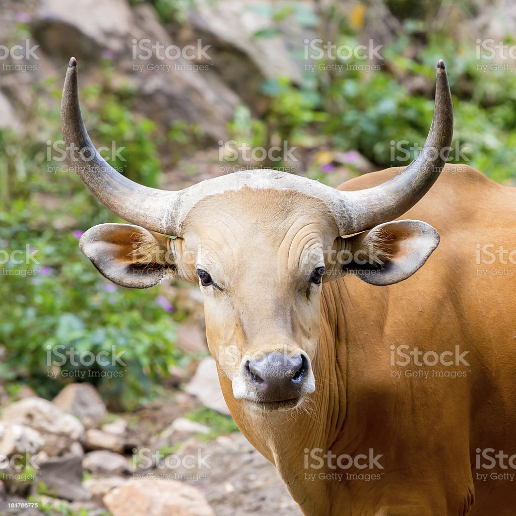 Banteng, red bull in rainforest of Thailand. royalty-free stock photo