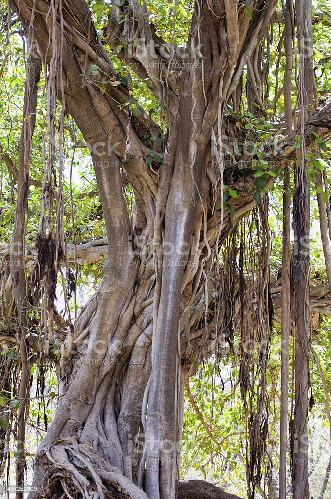 banyan fig in the national park ranthambhore stock photo