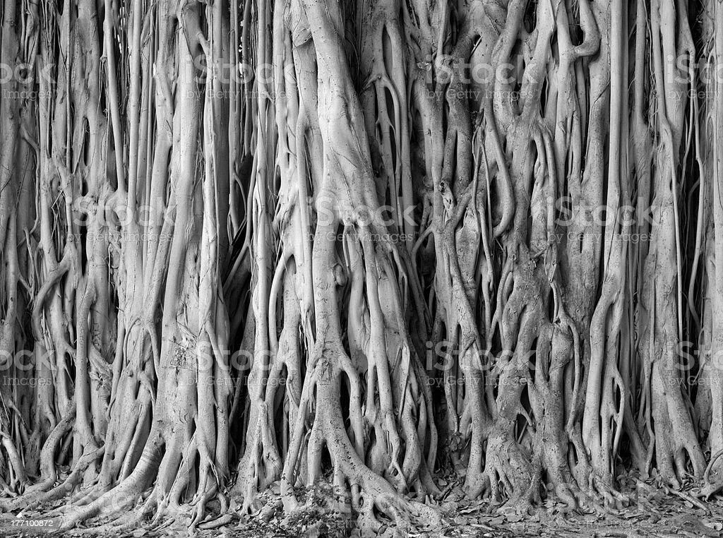 Banyan Fig Tree stock photo