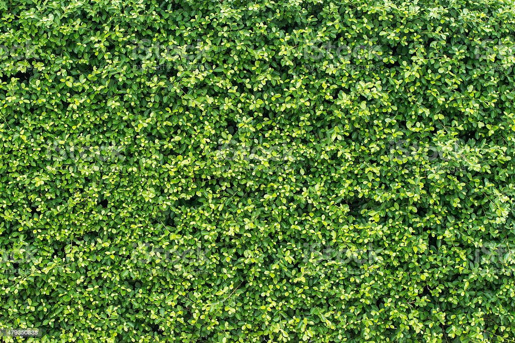 banyan green leaves wall stock photo