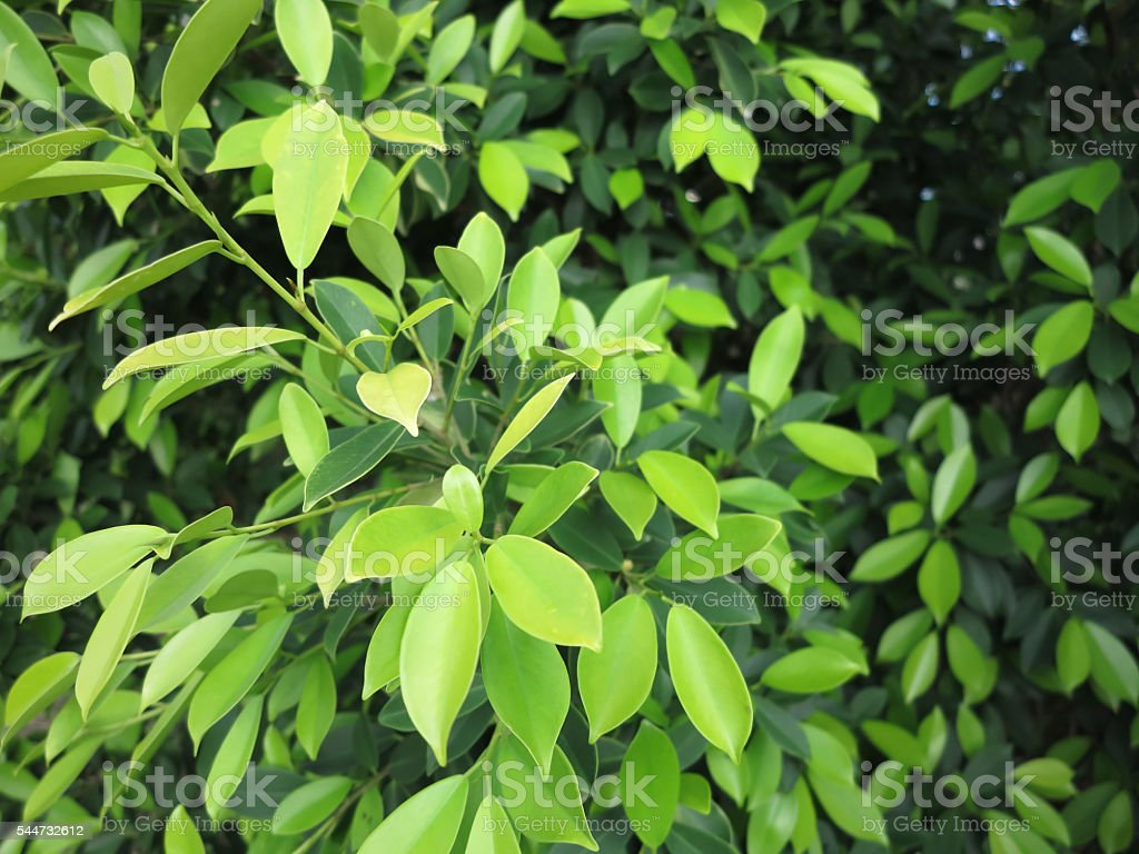 Banyan leaves background stock photo