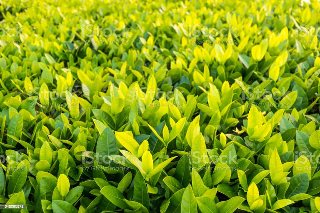 Banyan leaves texture for background. stock photo
