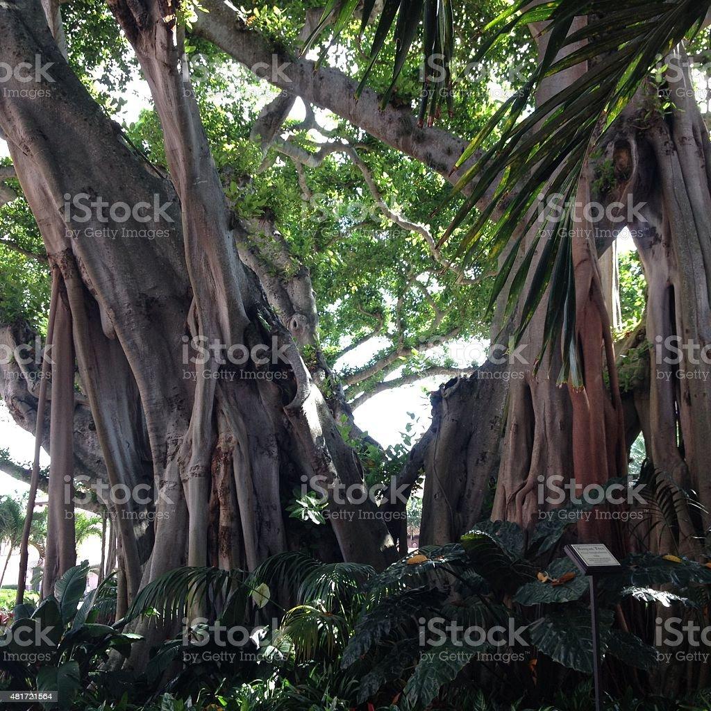 Banyan stock photo