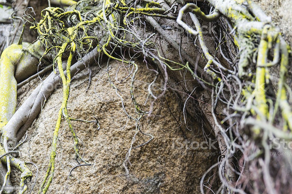 Banyan Roots royalty-free stock photo