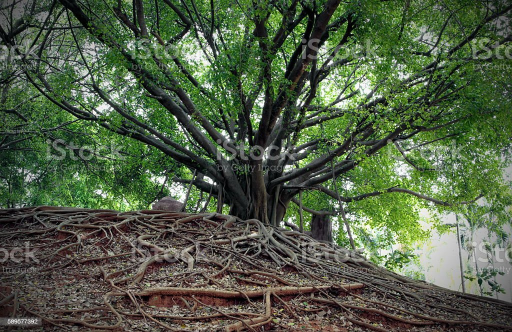 Banyan tree and different way of root. stock photo