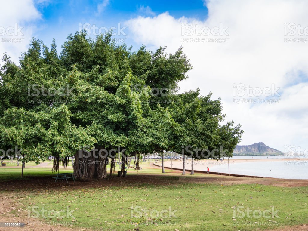 Banyan Tree at Ala Moana Beach Park, Waikiki, Honolulu City, Oahu Island, Hawaii, USA stock photo