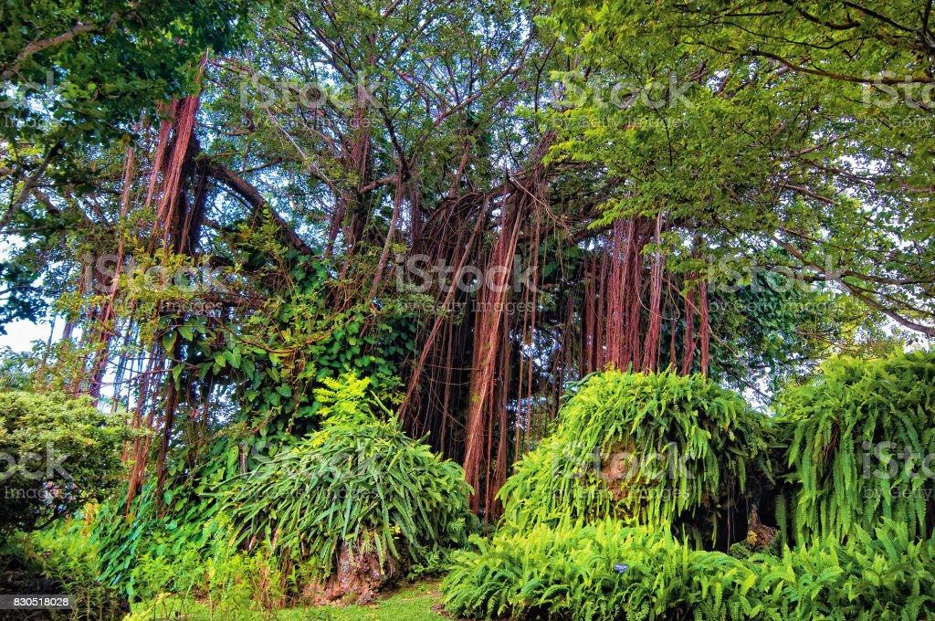 Banyan tree, Barbados stock photo