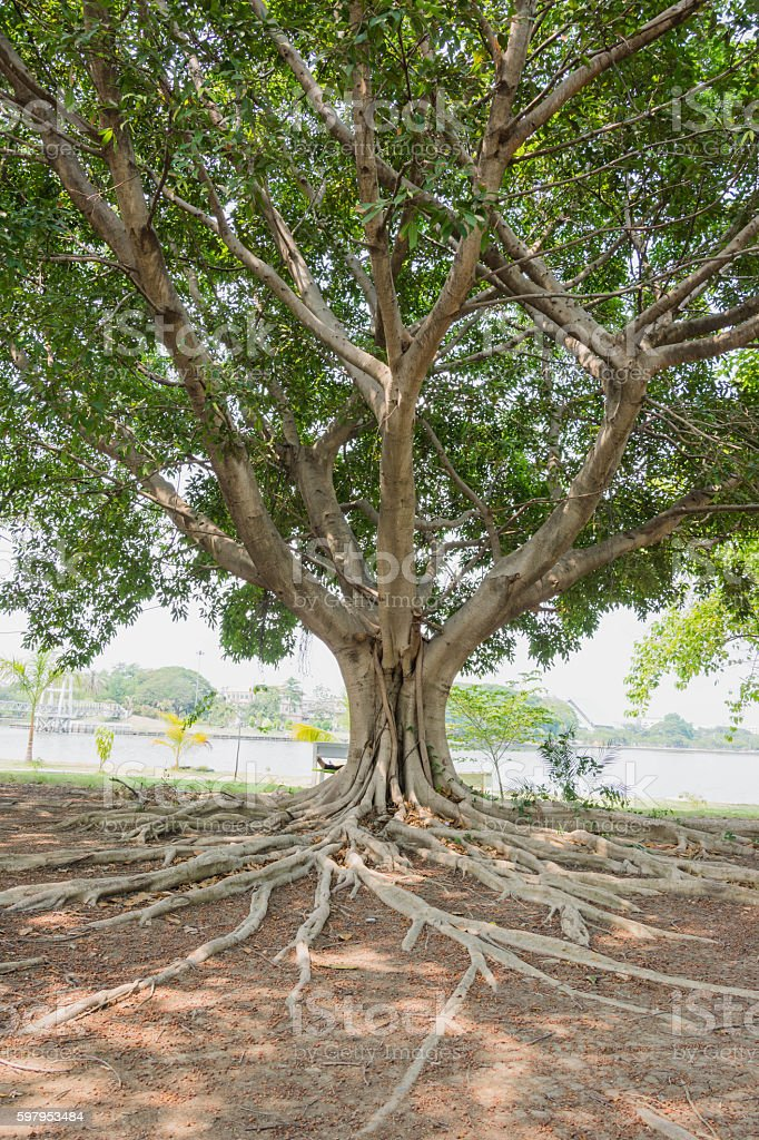 banyan tree beside lagoon stock photo
