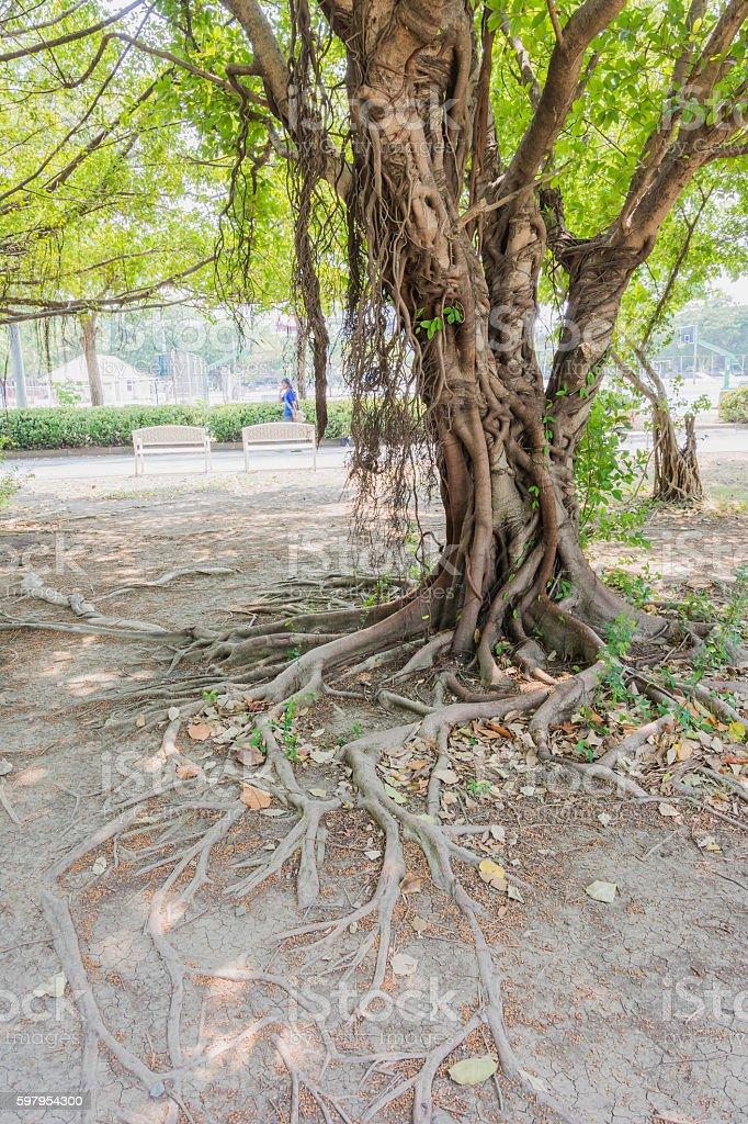 banyan tree beside lagoon stock photo