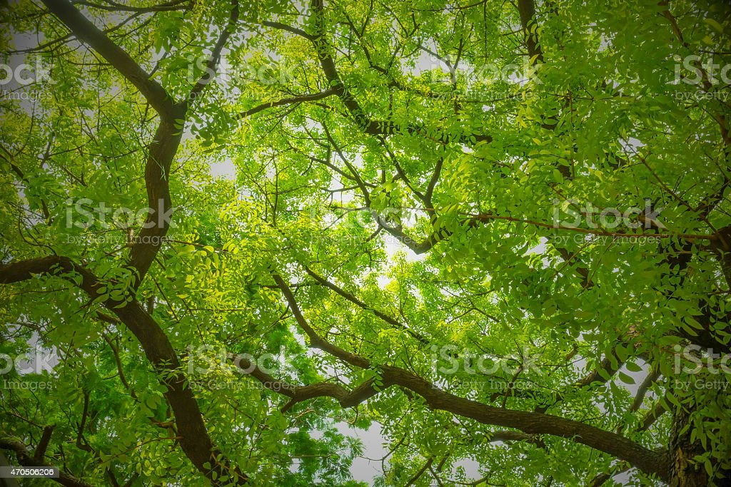 Banyan Tree - Branches and Green Leaves with bright background stock photo