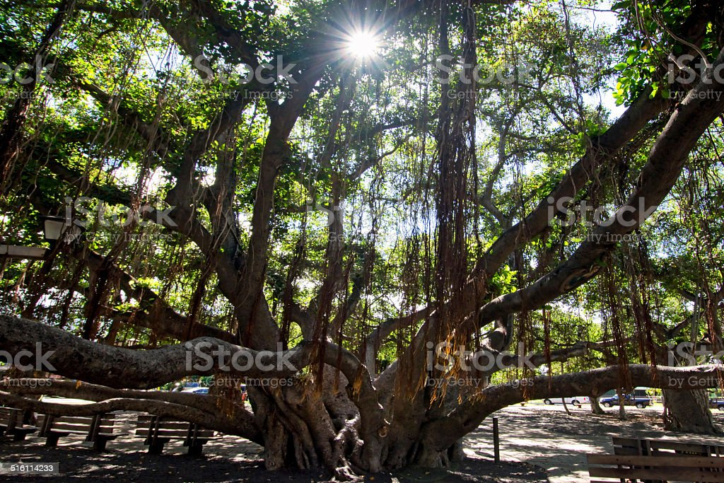 Banyan tree in courtyard square. Lahaina Harbor, Maui, Hawaii stock photo