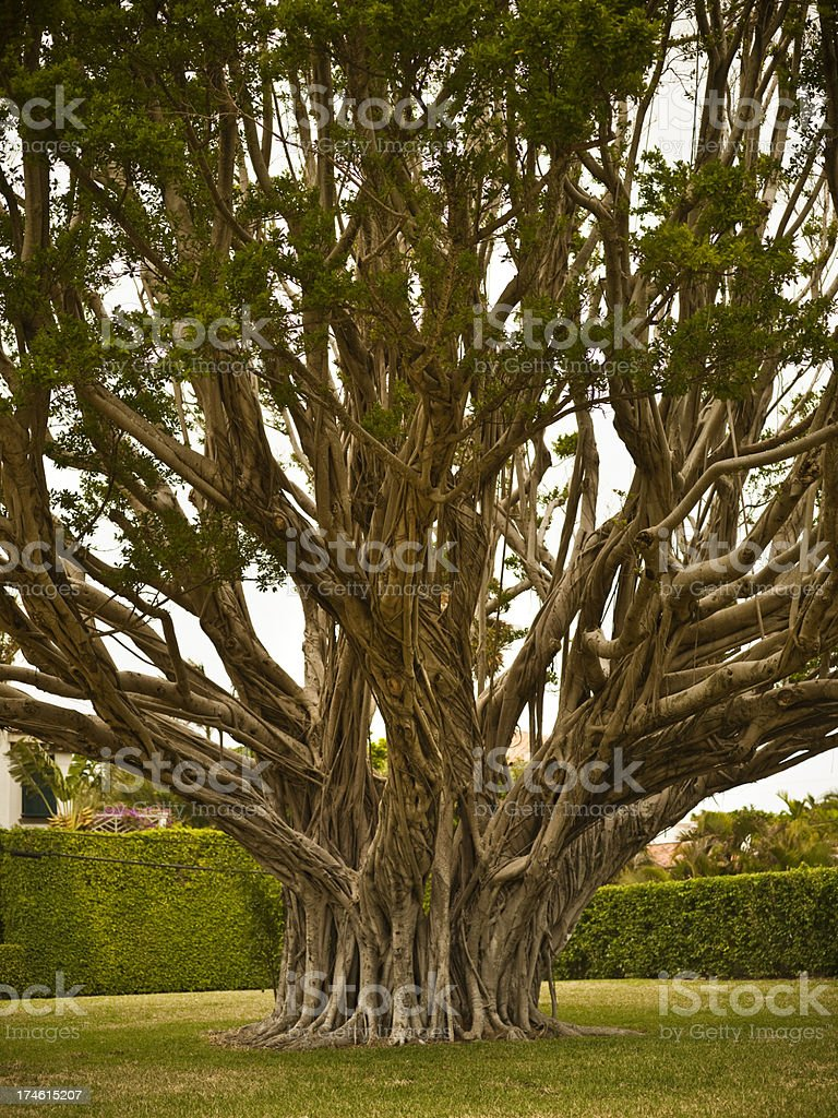 Banyan tree in Florida stock photo