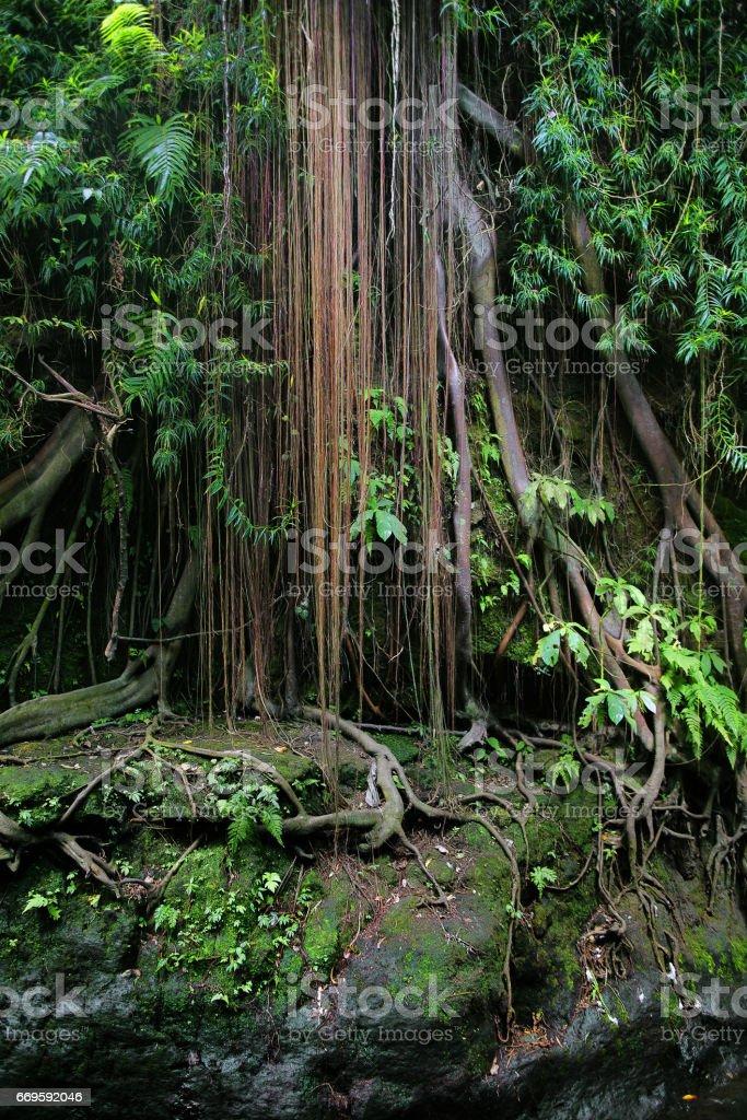 Banyan tree in the jungles of Sumatra stock photo