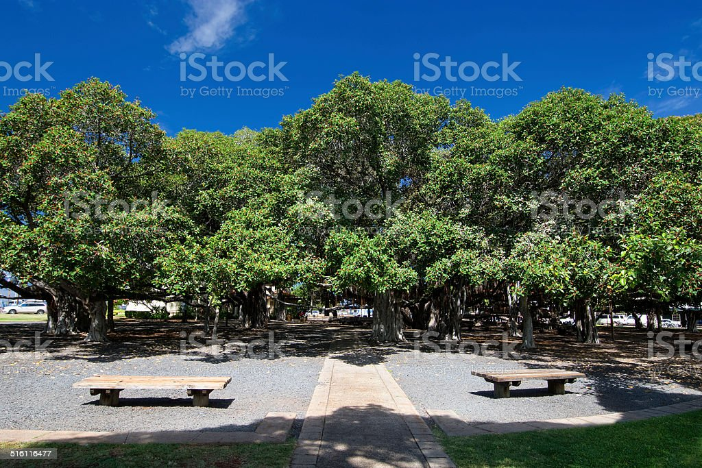 Banyan tree. Lahaina Harbor on Front street, Maui, Hawaii stock photo
