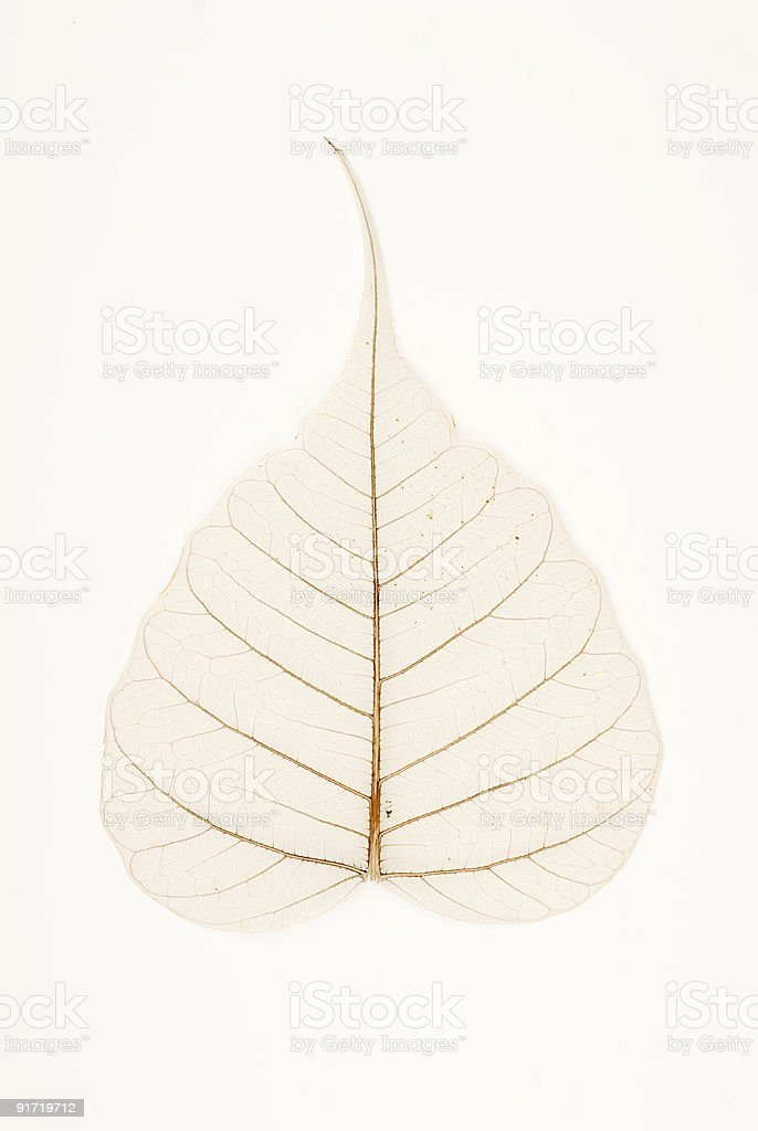 Banyan tree leaf venation stock photo