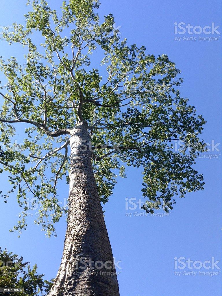 Banyan tree on the background sky, Cambodia stock photo