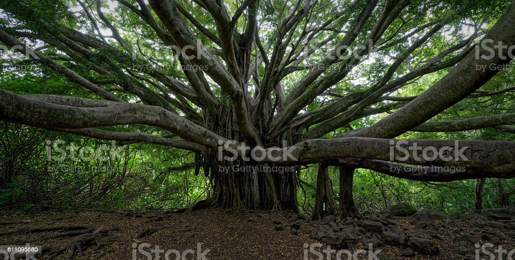 Banyan Tree Panorama stock photo