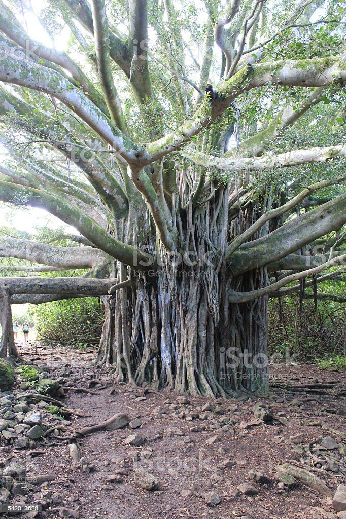 Banyan Tree stock photo